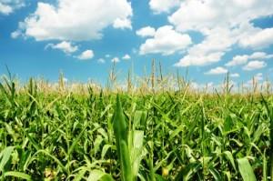 Lutter biologiquement contre la pyrale du maïs